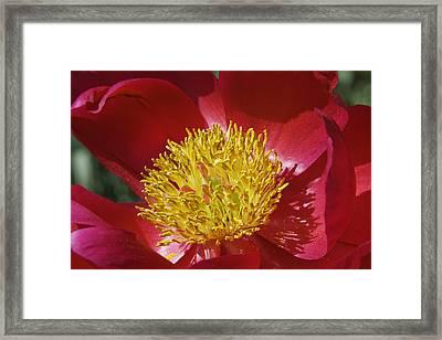 Red Peony Flower Framed Print by Keith Webber Jr