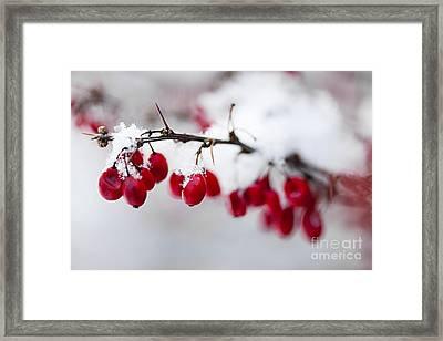 Red Winter Berries Under Snow Framed Print by Elena Elisseeva