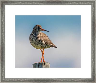 Redshank Tringa Totanus, Flatey Island Framed Print by Panoramic Images