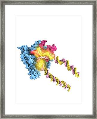 Rna Polymerase II And Tfiib Framed Print by Ramon Andrade 3dciencia