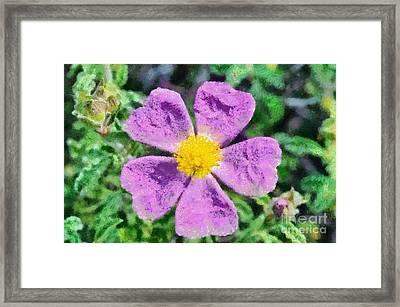 Rockrose Wild Flower Framed Print by George Atsametakis