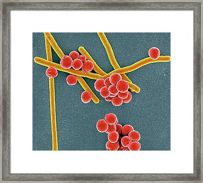 Rod-shaped And Round Bacteria Framed Print by Science Photo Library