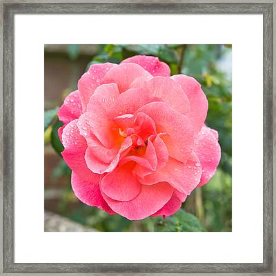 Rose Framed Print by Tom Gowanlock