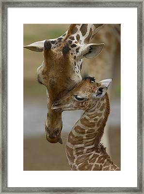 Rothschild Giraffe And Calf Framed Print by San Diego Zoo
