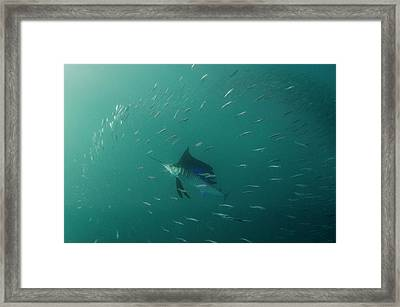 Sailfish (istiophorus Framed Print by Pete Oxford