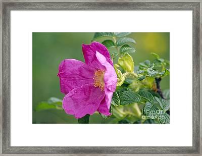 Salt Spray Rose Flower Rosa Rugosa Framed Print by Dr. Nick Kurzenko