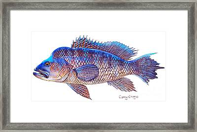 Sea Bass Framed Print by Carey Chen