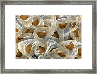 Seeds Of Cardiocrinum Giganteum Framed Print by Dr Jeremy Burgess