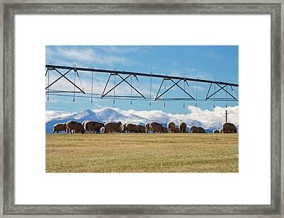Sheep Grazing Under An Irrigation Boom Framed Print by Jim West