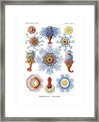 Siphonophorae Framed Print by Ernst Haeckel
