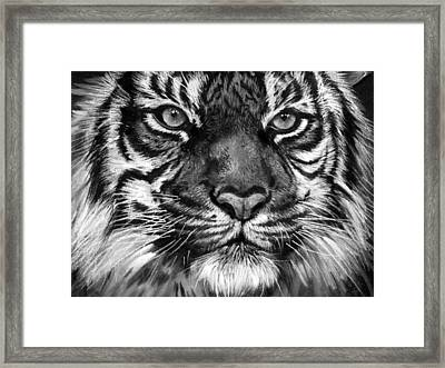 South China Tiger Framed Print by Sharlena Wood