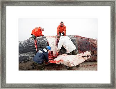 Sperm Whale Dissection Framed Print by Thomas Fredberg