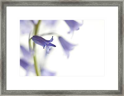 Spring Bluebells Framed Print by Carol Leigh