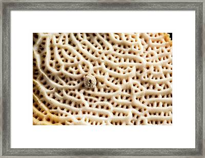 Steganoporella Bryozoan Framed Print by Natural History Museum, London