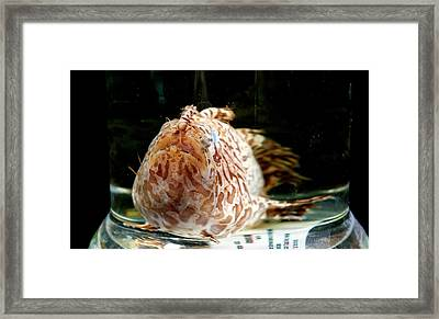 Striated Frogfish Framed Print by Natural History Museum, London
