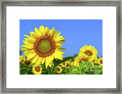 Sunflower Field Framed Print by Elena Elisseeva