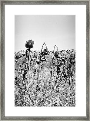 Sunflowers Framed Print by James Taylor