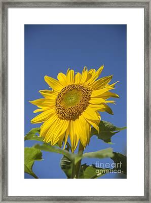 Sunny Day Framed Print by Alana Ranney
