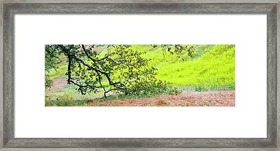 Sycamore Tree In Mustard Field Framed Print by Panoramic Images