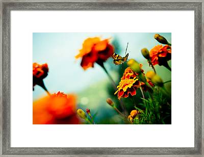 Tagetes And Buterfly Fly Away  Framed Print by Raimond Klavins