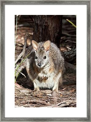 Tammar Wallaby (macropus Eugenii Framed Print by Martin Zwick