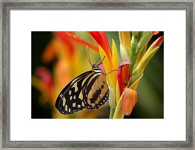 The Postman Butterfly Framed Print by Saija  Lehtonen