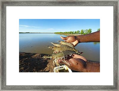Tiger Prawn Farming, Madagascar Framed Print by Science Photo Library