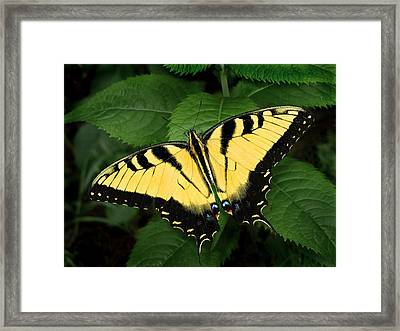 Tiger Swallowtail Butterfly Framed Print by David and Carol Kelly