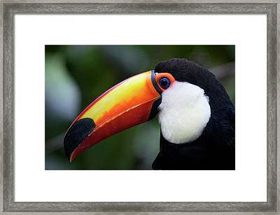 Toco Toucan (ramphastos Toco Framed Print by Andres Morya Hinojosa