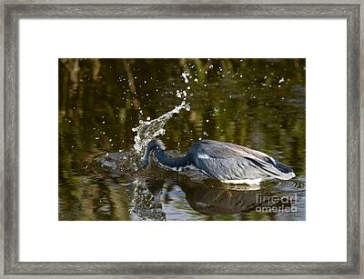 Tricolored Heron Framed Print by Mark Newman