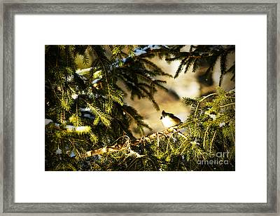 Tufted Titmouse Framed Print by Thomas R Fletcher