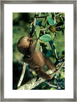 Two-toed Sloth Framed Print by Gregory G. Dimijian, M.D.