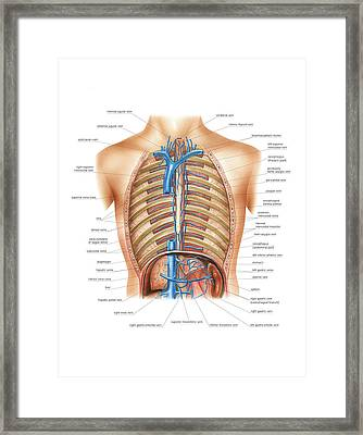 Venous System Of The Torso Framed Print by Asklepios Medical Atlas
