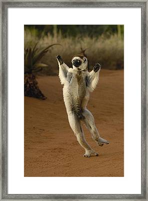 Verreauxs Sifaka Hopping Berenty Framed Print by Pete Oxford