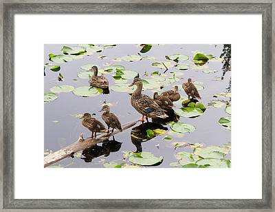 Wa, Juanita Bay Wetland, Mallard Female Framed Print by Jamie and Judy Wild