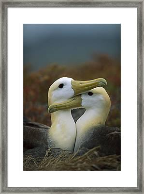 Waved Albatross Pair Bonding Galapagos Framed Print by Tui De Roy