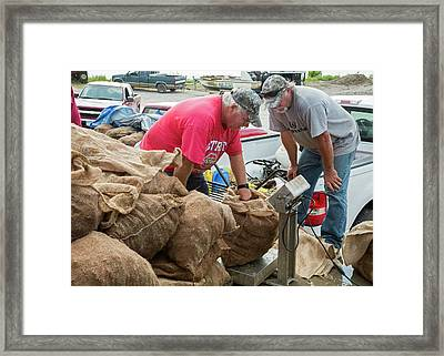 Weighing Harvested Oysters Framed Print by Jim West