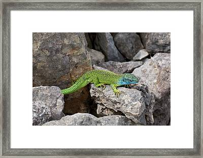 Western Green Lizard Framed Print by Bob Gibbons