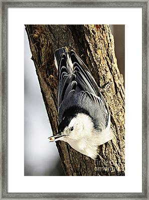 White Breasted Nuthatch Framed Print by Larry Ricker