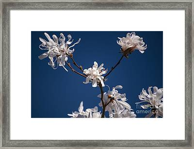 White Magnolia Framed Print by Mandy Judson