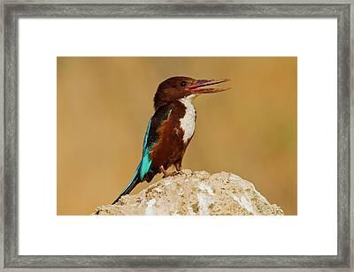 White-throated Kingfishe Framed Print by Photostock-israel
