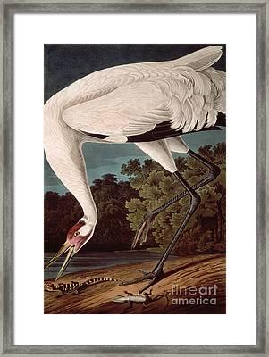 Whooping Crane Framed Print by John James Audubon