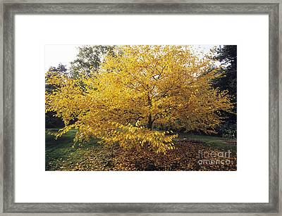 Yellow Birch Betula Alleghaniensis Framed Print by Adrian Thomas