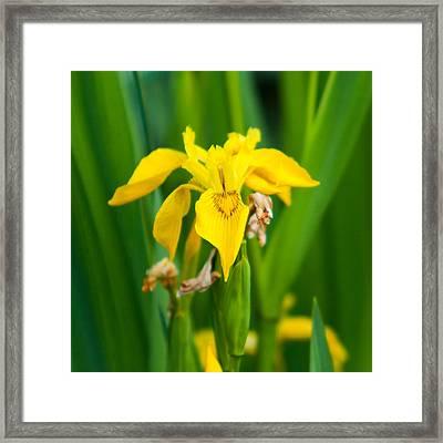 Yellow Flag Iris Framed Print by Matt Dobson