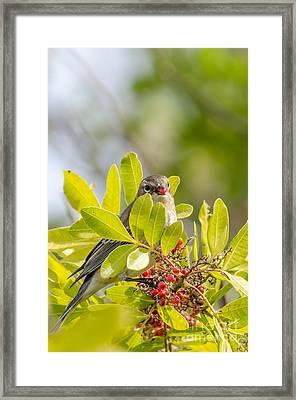 Yellow-rumped Warbler Framed Print by Debra Martz