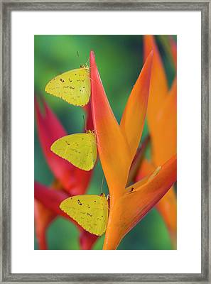 Yellow Sulfur Butterfly Framed Print by Darrell Gulin