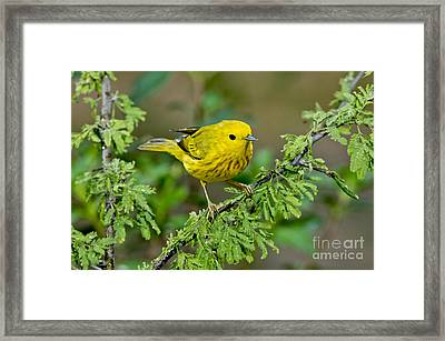 Yellow Warbler Framed Print by Anthony Mercieca