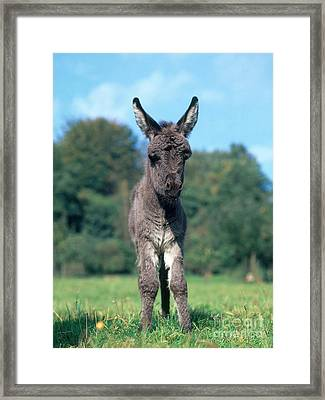 Young Donkey Framed Print by Hans Reinhard
