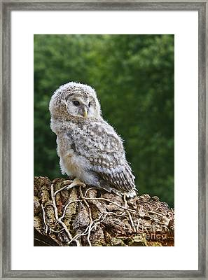 Young Ural Owl Framed Print by Linda Wright