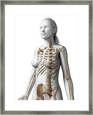 Female Skeleton Framed Print by Sebastian Kaulitzki